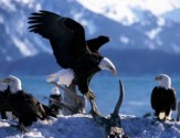 Free eagle-watching events and tours