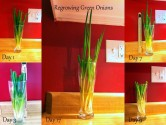 Regrow your own green onions in your kitchen